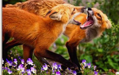 20110705102410-foxes-1-.jpg