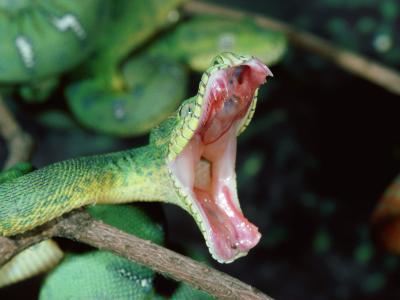 20100403104149-serpiente-a-punto-de-morder-692507.jpg
